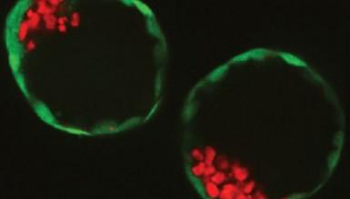 Впервые созданы синтетические эмбрионы из стволовых клеток