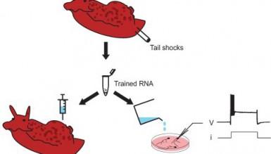 Биологам удалось трансплантировать воспоминания улитки