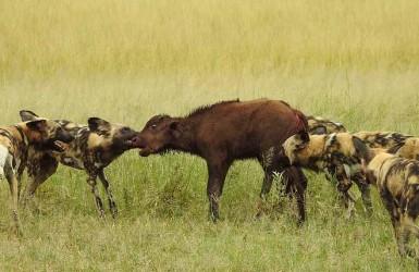 Как дикие собаки охотятся на буйволов