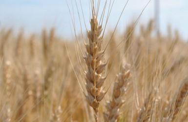 Украина вышла на второе место в мире по урожайности пшеницы