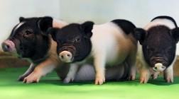 Редактирование генов превращает свиней в доноров органов для пересадки людям