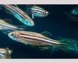 От сперматозоидов-«долгожителей» получается более плодовитое и медленно стареющее потомство