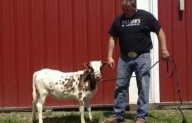 Американский фермер вывел породу коров размером с собаку