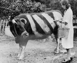 Навіщо в роки Другої світової війни фермери розмальовували своїх корів білими смужками