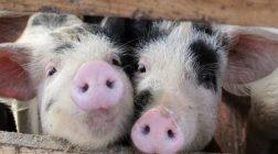 Нахрюкались: алкоголь делает свиней здоровее, а их мясо вкуснее